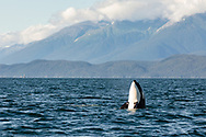 Orca (Orcinus orca) spy hopping boat in Favorite Channel in Southeast Alaska. Summer. Evening.