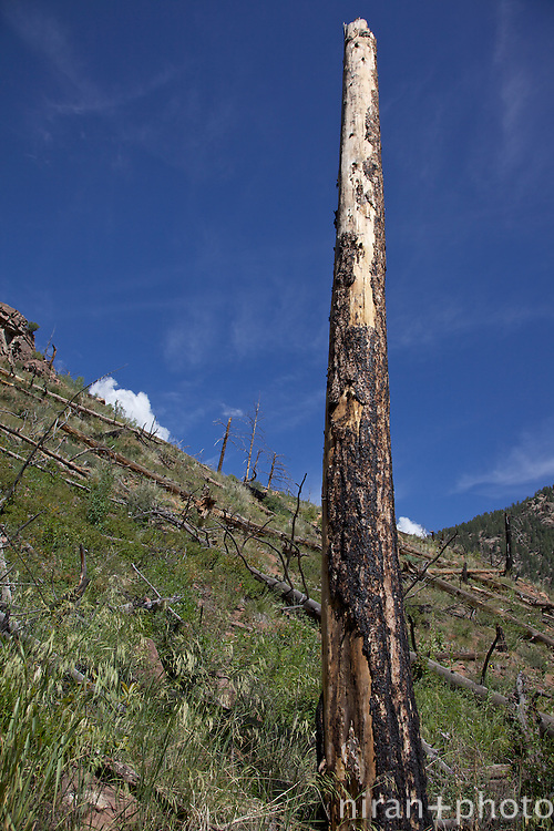 Charred remains of a pine tree as a result of the very dfestructive Hayman Wildfire of 2002. The first part of the Goose Creek Trail shows the devastating extent of the fire but thankfully stopped shy of the main parts of the trail.