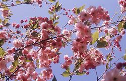 Cherry blossom on branch of tree,