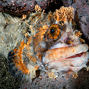 This is a mature fringed blenny (Chirolophis japonicus), which is a species of prickleback found in the northwest Pacific. This one measured about 50cm.