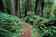 Hiker, Cathedral Trees Trail, redwood forest with ferns, Prairie Creek Redwoods State Park, CA, © David A. Ponton
