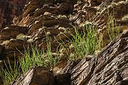 Ocotillo (Fouquieria splendens). Day 12 of 16 days rafting 226 miles down the Colorado River in Grand Canyon National Park, Arizona, USA.