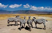 A herd of Common Plains Zebra (Grant's) Ngorongoro Crater, Tanzania