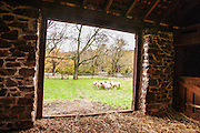 Sheep grazing on grass viewed out  from inside a barn door, New Hope, Pennsylvania, USA