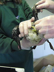 © Licensed to London News Pictures. 31/01/2013. CITY/TOWN e.g Windsor, UK. Surviving birds ere taken to the RSPCA centre in West Hatch, Somerset, where staff cleaned them up. Seabirds have washed up on the south coast covered in a mysterious waxy substance The Royal Society for the Protection of Birds (RSPB) said more than 100 distressed birds, mostly guillemots, were discovered at Lyme Bay in Dorset, with reports of others turning up as far away as Cornwall and Sussex.. Photo credit : RSPCA/LNP