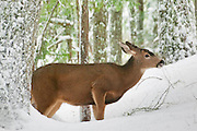 A black-tailed deer (Odocoileus hemionus) tries to find food in the snow-covered forest on Rampart Ridge in Mount Rainier National Park, Washington.