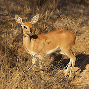 Steenbok, Timbavati Game Reserve, South Africa.