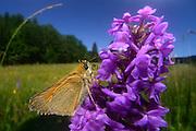 In einem höher gelegen Moor im Allgäu ist dieser Dickkopffalter von einer einer Orchidee (Mücken-Händelwurz (Gymnadenia conopsea)) angelockt worden. Er bekommt hier großzügig Nektar und die Orchidee wird im Gegenzug besteubt. Moorfläche südlich von Kempten im Allgäu, Deutschland