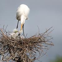 Ardea alba, Smith Oaks Rookery, High Island, East Texas