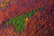 Group of pine trees among red beech forest