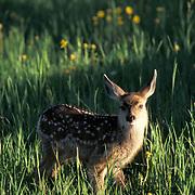 Mule Deer, (Odocoileus hemionus) Portrait of fawn, spring. Montana.