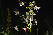 Composite image showing The Shark moth (Cucullia umbratica) and Small Elephant Hawk-moth (Deilephila porcellus) nectaring on Greater Butterfly Orchid (Platanthera chlorantha) at night. West Sussex, UK.