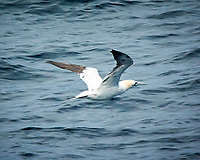 Northern Gannet. Viewed from the deck of the MV World Odyssey. Image taken with a Nikon N1V3 camera and 70-300 mm VR lens.