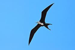 great frigatebird, Fregata minor, young female in flight, Kona Coast, Big Island, Hawaii, USA