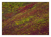 Hillside covered in huckleberries and blueberries in autumn, North Cascades National Park, Washington