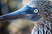 Close-up of a blue-footed booby (Sula nebouxii excise), North Seymour Island, Galapagos Islands, Ecuador