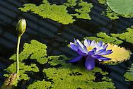 "Nymphaea ""Kew's Stowaway Blues"" waterlily at Kew Gardens"