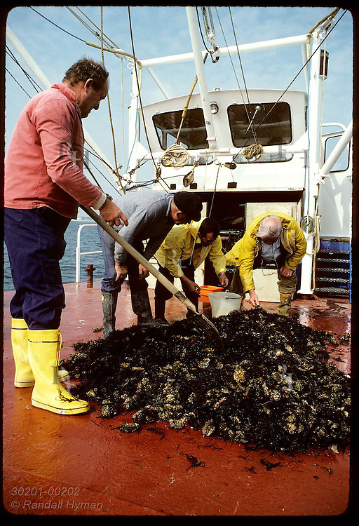 Oystermen sort through oysters dredged from Quiberon Bay for flats to show to Spanish client. France