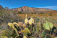 Prickly Pear Cactus at Guadalupe Mountains National Park. Image taken with a Nikon D3x and 24 mm f/1.4G lens (ISO 100, 24 mm, f/11, 1/320 sec).