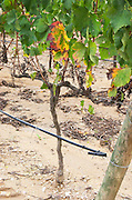 Young vine. Soil detail. Merlot vines. Bacalhoa Vinhos, Azeitao, Portugal