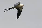 Swallow-tailed Kite in flight, Elanoides forficatus, Chapada Dos Guimaraes, Brazil