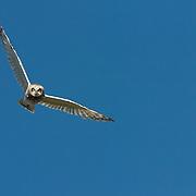 Short-eared Owl (Asio flammeus) adult in flight. Montana