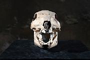 skull of a wild boar