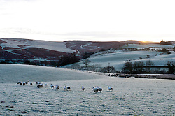 © Licensed to London News Pictures. 23/11/2015. Builth Wells, Powys, Wales, UK. After a night of freezing temperatures, sheep are seen near Builth Wells early this morning in a frosty landscape on the high moorland of the Mynydd Epynt range. Photo credit: Graham M. Lawrence/LNP