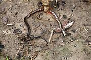Sao Luis_MA, Brasil...Comunidade Cajueiro em Sao Luis do Maranhao, na foto detalhe de uma cobra morta...The Cajueiro community in Sao Luis do Maranhao, in this photo a dead snake...Foto: LEO DRUMOND / NITRO