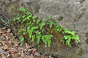 Southern Maidenhair Fern (adiantum capillus-veneris) clings to a rock. Photographed in the Kziv stream nature reserve, upper Galilee, Israel