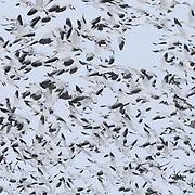 Snow Goose (Chen caerulescens) flock in flight near Freezeout Lake, Montana.