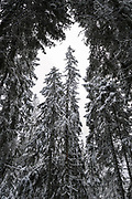 White winter day in spruce (picea abies) forests, near Nītaure, Vidzeme, Latvia Ⓒ Davis Ulands | davisulands.com