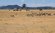 Drought affected stock, Western Victoria..<br /> <br /> Larger JPEG + TIFF images available by contacting use through our contact page at :..www.photography4business.com