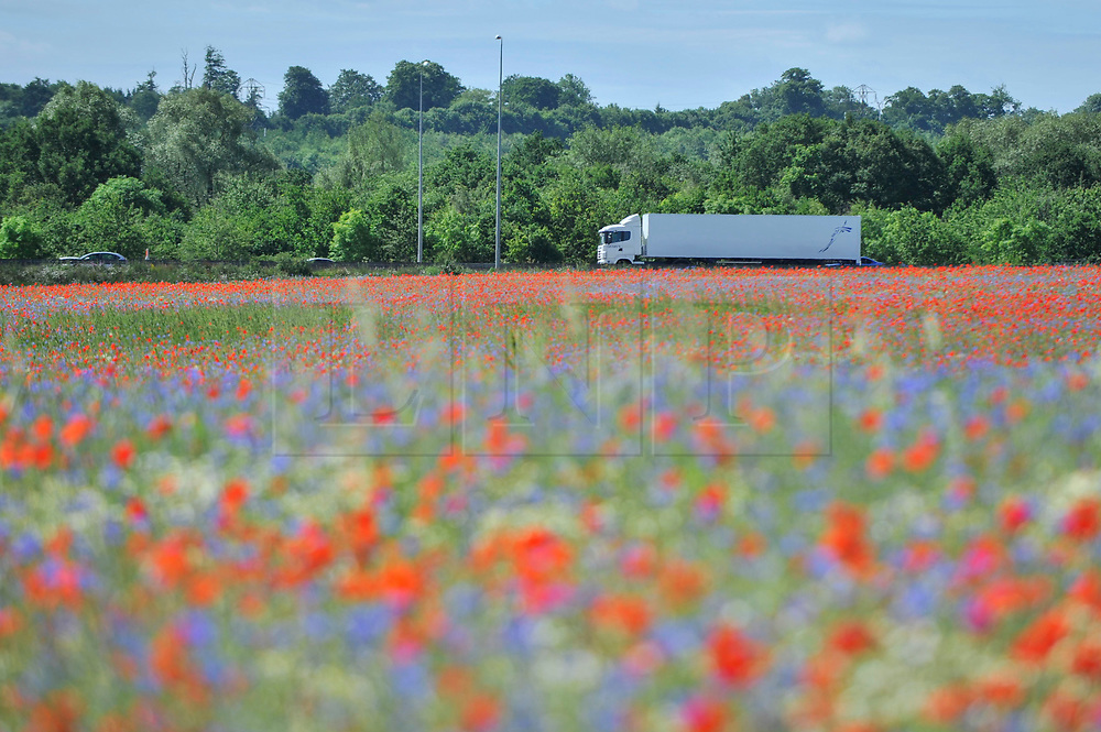 © Licensed to London News Pictures. 11/06/2017. London Colney, UK. Poppies and other wildflowers are in bloom in a field in London Colney, near St Albans.  Lying near the busy M25 motorway that encircles the capital, the flowers are putting on a spectacular show as the traffic passes by. Photo credit : Stephen Chung/LNP