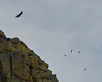 Turkey Vulture. Devil's Tower National Monument. Image taken with a Nikon D200 camera and 80-400 mm VR lens.