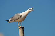 Israel, Coastal Plains, Herring Gull, Larus argentatus, on a pole March 2003