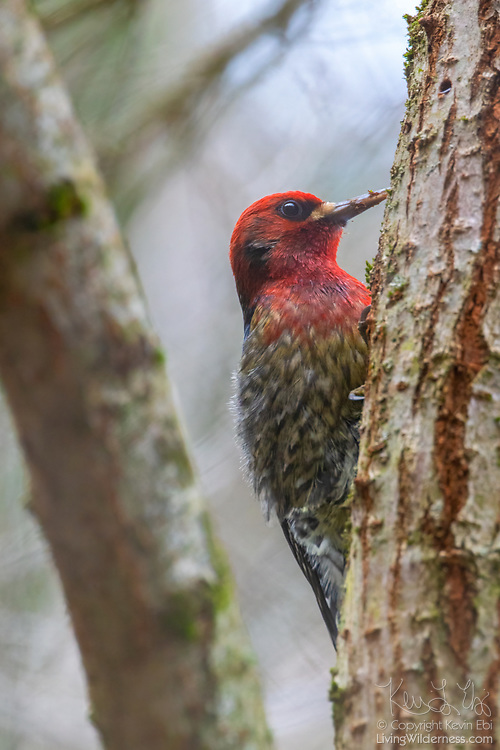 A red-breasted sapsucker (Sphyrapicus ruber) pauses between drilling holes in an elm tree in Snohomish County, Washington. The red-breasted sapsucker is known for drilling neat rows of shallow holes into trees to collect sap.