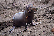 A young fur seal (Arctocephalus galapagoensis) on lava rocks along the shore of James Bay, Santiago Island, Galapagos Archipelago - Ecuador.