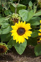 Helianthus annuus 'Suntastic Yellow' - Dwarf Sunflower
