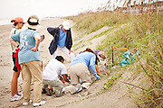 Members of the turtle team assist freshly hatched loggerhead sea turtle babies on the beach at Isle of Palms, SC