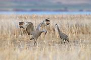 Sandhill Cranes mating dance, Montana.