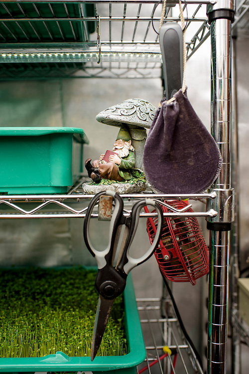 """Baltimore, Maryland - June 23, 2016: A garden gnome sits at home in the City-Hydro vertical farm, located in a backroom of Larry and Zhanna Hount's Baltimore rowhome. <br /> <br /> City-Hydro owners Larry and Zhanna Hount started growing microgreens in a spare room in their Baltimore rowhome a year and a half ago. Since then, their vertical farm has earned them $120k a year. They sell their crop directly to local restaurants, but, """"What we want to be at the end of the game is a supplier..."""" says Larry. The couple sell their custom made racks, which use daylight balanced LED lights and offer training. <br /> <br /> <br /> CREDIT: Matt Roth for The New York Times<br /> Assignment ID: 30191904A"""