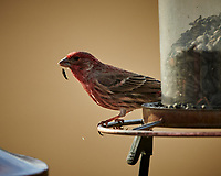 House Finch at a bird feeder. Image taken with a Nikon D850 camera and 500 mm f/4 VR telephoto lens (ISO 400, 500 mm, f/4, 1/500 sec).