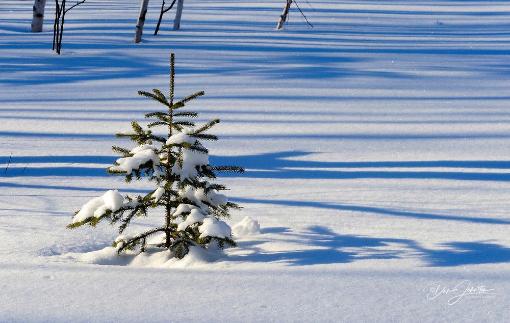 Tree shadows on snow with fir tree sapling, Greater Sudbury/Lively, Ontario, Canada