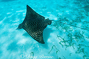 spotted eagle ray, Aetobatus narinari, Belize, Central America ( Caribbean Sea )