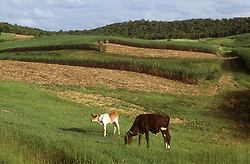 Cuban countryside featuring sugar cane fields with cattle in the foreground,