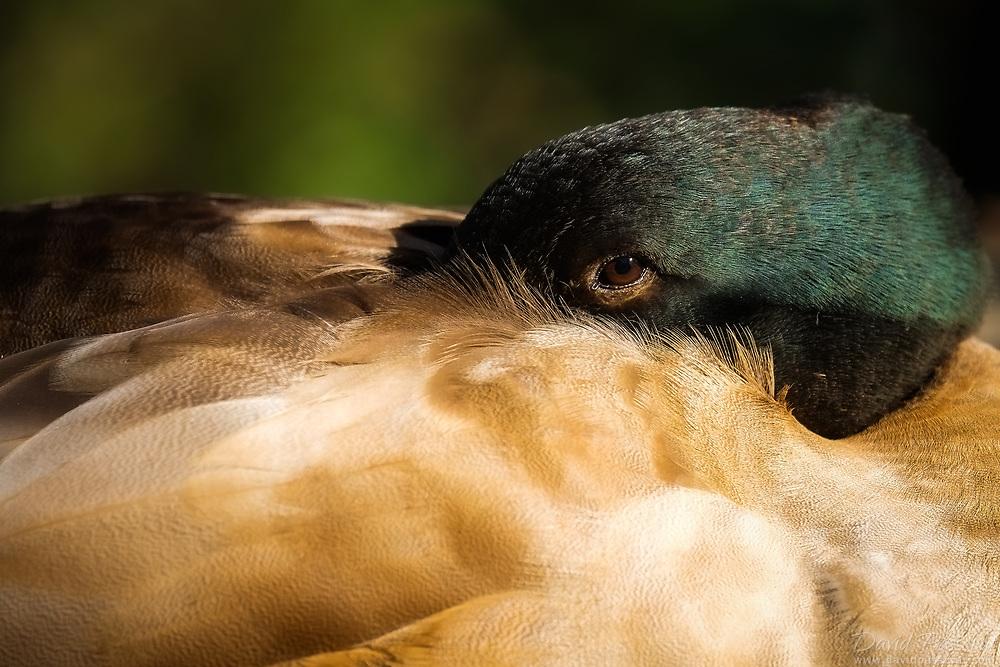 Resting fluffy duck.