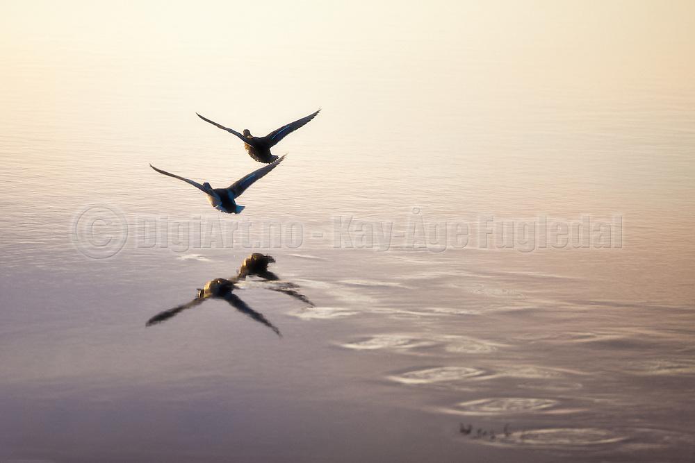 Ender i flukt speiler seg i sjøen   Escaping Ducks reflected in the sea
