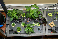 AeroGarden Indoor Hydroponic Farm 02 Left: Pepper Plants. Image taken with a Leica TL-2 camera and 35 mm f/1.4 lens (ISO 100, 35 mm, f/2.5, 1/125 sec).