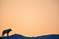Arctic Wolf, Canis lupus, Ellesmere Island, Canada